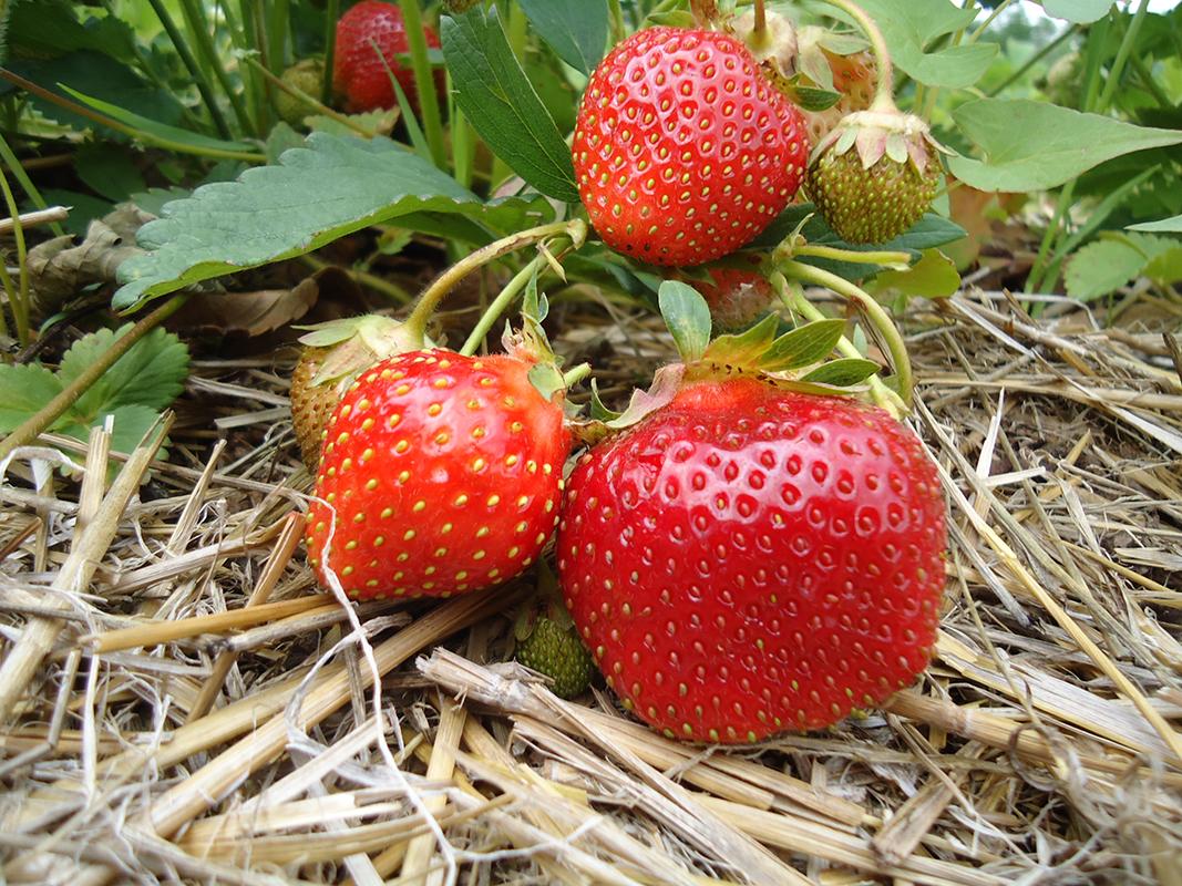 Malvitz Bay Farms strawberries