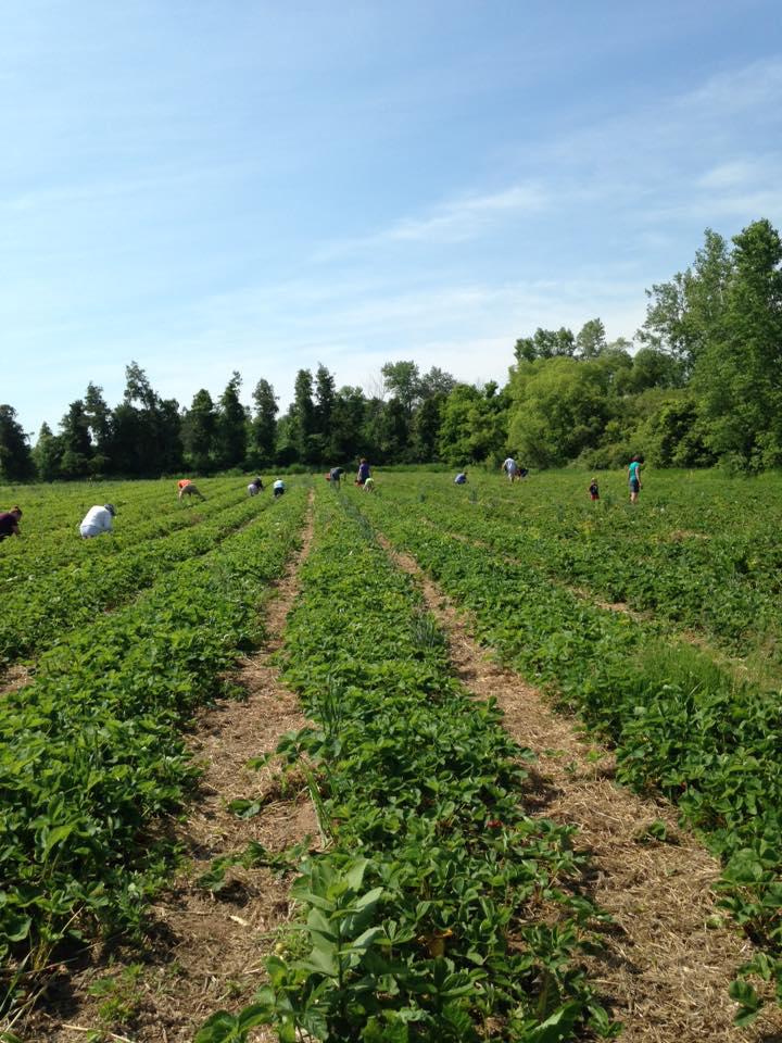 Door County pick your own strawberries
