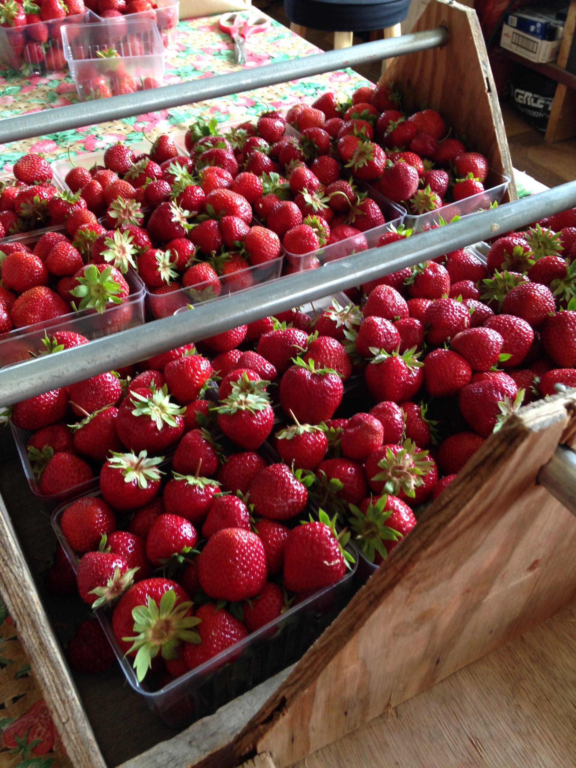 Door County pick your own strawberries in pints